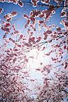 Cherry tree, Stockholm, Sweden.