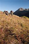 Deux chasseurs d'orignaux mâles s'arrêtent pour la région de verre avec des jumelles comme ils randonnée hors zone de chasse avec des bois d'orignal trophée sur leurs emballages, oiseau Creek bassin versant, les montagnes Chugach, forêt nationale de Chugach, centre-sud de l'Alaska, automne