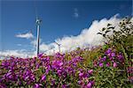Pillar Mountain Wind Project wind turbines stand on Pillar Mountain on Kodiak Island with Dwarf Fireweed in the foreground, Southwest Alaska, Summer