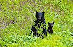 Ours noir semer et cub stand dans le feuillage près de Harding Icefield Trail à sortie Glacier dans le Parc National de Kenai Fjords, la péninsule de Kenai, centre-sud de l'Alaska, l'été