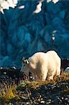 Vue sur un pâturage de chèvres de montagne sur les plantes près de sentier Harding Icefield Glacier Exit dans le fond, le Parc National de Kenai Fjords près de Seward, la péninsule de Kenai, centre-sud de l'Alaska, l'été