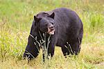 Un adulte ours noir broute sur les graminées, centre de Conservation de la faune de l'Alaska, centre-sud de l'Alaska, l'été. En captivité