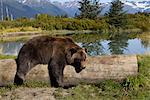 Un grizzly femelle en captivité se trouve drapé sur un journal avec un étang et des montagnes dans le fond, centre de Conservation de la faune de l'Alaska, l'Alaska Centre-Sud, l'été. En captivité