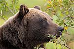 Profile of an adult Brown bear sow amongst green brush at Alaska Wildlife Conservation Center, Southcentral Alaska, Summer. Captive