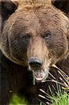 Extreme gros plan du visage d'une femelle de l'ours brun dans la centre de Conservation de la faune de l'Alaska, centre-sud de l'Alaska, l'été. En captivité
