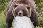 Un grizzly femelle repose paresseusement drapé sur un journal, centre de Conservation de la faune de l'Alaska, Centre-Sud Alaska, l'été. En captivité