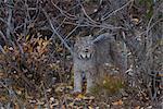 Adulte le Lynx du Canada entre automne brosser dans le Denali National Park and Preserve, intérieur de l'Alaska, automne