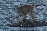 Le Lynx du Canada adultes se dresse sur un rocher au milieu du ruisseau Igloo dans le Denali National Park and Preserve, intérieur de l'Alaska, automne