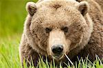 Ours brun se nourrissent de graminées carex à l'été de McNeil rivière état Game Sanctuary, sud-ouest de l'Alaska,