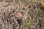 Male Red Phalarope sits on nest, Arctic Coastal Plain, National Petroleum Reserve, near Barrow, Arctic Alaska, Summer