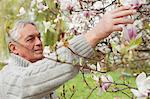 Older man examining magnolias on tree