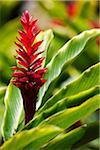 Roter Ingwer, Kauai, Hawaii, USA