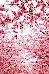 Cherry blossom, Sweden.