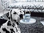 Un dalmatien dans une salle de séjour, Suède.