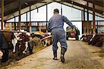 A farmer in a barn, Sweden.