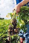 Neue Kartoffeln, Skane, Schweden.
