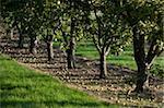 Cider apples ready for harvesting, Somerset, England, United Kingdom, Europe