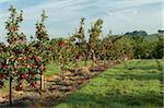 Apple orchard, Somerset, England, United Kingdom, Europe