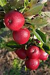 Red Windsor apples, Somerset, England, United Kingdom, Europe