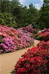 Azalées et rhododendrons, Isabella Plantation, Richmond Park, Richmond, Surrey, Angleterre, Royaume-Uni, Europe