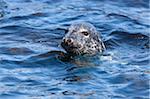 Phoque gris (Halichoerus grypus), îles Farne, Seahouses, Northumberland, Angleterre, Royaume-Uni, Europe