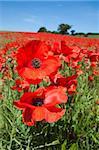 Poppies (Papaver hoeas), near Barrasford, Northumberland, England, United Kingdom, Europe