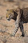 Male leopard (Panthera pardu), Kgalagadi Transfroniter Park, Northern Cape, South Africa, Africa