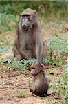 Young chacma baboon (Papio cynocephalus ursinus), Kruger National Park, Mpumalanga, South Africa, Africa