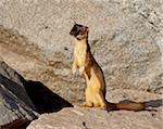 Hermine (hermine) (Mustela erminea), Mount Evans, Colorado, États-Unis d'Amérique, l'Amérique du Nord