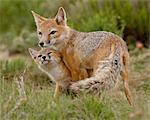 Swift fox (Vulpes velox) vixen and kit, Pawnee National Grassland, Colorado, United States of America, North America
