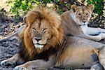 Couple de Lion (Panthera leo), réserve nationale de Masai Mara, Kenya, Afrique de l'est, Afrique