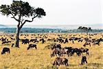Troupeau de gnous (Connochaetes taurinus), Masai Mara National Reserve, Kenya, Afrique de l'est, Afrique
