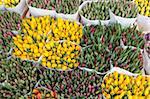 Tulips on display in the Bloemenmarkt (flower market), Amsterdam, Netherlands, Europe