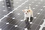 Chihuahua debout sur panneau solaire