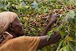 Burundi. A woman picks coffee on a plantation; coffee is Burundis largest export.