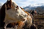 Cow looking away