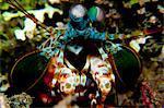 Mantis shrimp, Papua New Guinea
