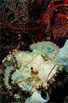 Scorpionfish rests amid sponges