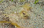 Close-up of flounder