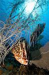 Nassau grouper and soft coral