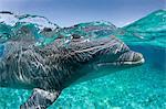 Atlantique grand dauphin