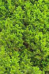 A spruce, close-up, Sweden.