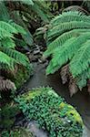 Tempérées Rainforest, Parc National de Tarra-Bulga, Victoria, Australie