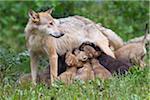 Timber Wolf Nursing Cubs, Bavaria, Germany
