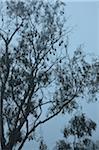 Kolonie Flughunde im Baum, Yarra Bend Park, Melbourne, Victoria, Australien