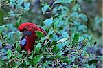 Crimson Rosella Parrot, Dandenong Ranges National Park, Victoria, Australia