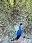 close-up portrait of beautiful peacock