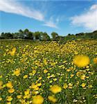 A field full of buttercup's shot in summer.