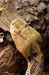 Timber Rattlesnake Crotalus horridus