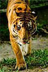 Tiger staring into camera. Panthera Tigris.